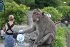 Naughty monkeys at Uluwatu Temples